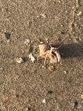 Nederländerna för mun för krabbafokusensling Arkivbild