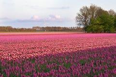 nederländska purpura tulpan för fält Arkivfoton