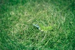 Nederlag för grön ödla i gräset och se royaltyfria bilder