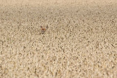Nederlag för rådjur (Capreoluscapreolus) i kornfält Royaltyfri Foto