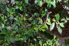 Nederlag för svart Mamba i buskarna Royaltyfri Foto