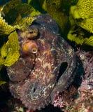 nederlagbläckfisk Fotografering för Bildbyråer