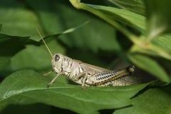 Nederlaggräshoppa Arkivfoton