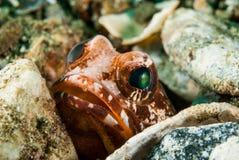 Nederlagjawfish i Ambon, Maluku, Indonesien undervattens- foto Royaltyfri Foto