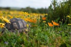 nederlagsköldpadda Arkivfoto