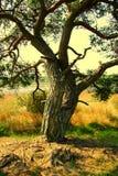 Nederlands bos in zomer Stock Afbeelding
