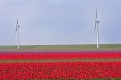 Nederlands gebied van tulpen met windmolens achter het Stock Afbeeldingen