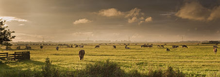 Nederlands landschap met koeien vóór onweersbui Stock Foto