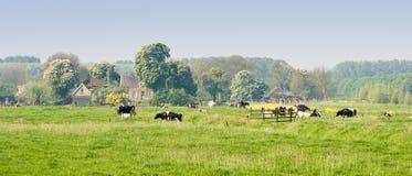 Nederlands landschap met landbouwbedrijf en koeien Royalty-vrije Stock Fotografie
