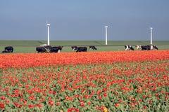 Nederlands landschap: windmolens, koeien en tulpen Royalty-vrije Stock Afbeeldingen