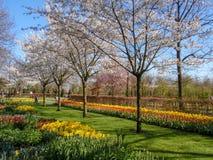 Nederlands park met tot bloei komende bomen en tulpen royalty-vrije stock foto's