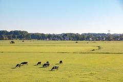 Nederlands weidelandschap met melkvee in ochtendzon stock afbeelding