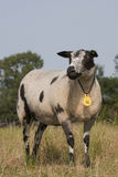 Nederlandse gekleurde schapen Royalty-vrije Stock Afbeeldingen