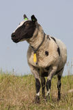 Nederlandse gekleurde schapen Royalty-vrije Stock Foto