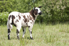 Nederlandse gekleurde schapen stock fotografie