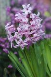 Nederlandse hyacint Stock Foto