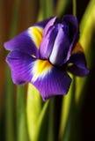 Nederlandse Iris stock foto's