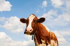 Nederlandse koe Stock Afbeelding