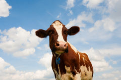 Nederlandse koe Stock Fotografie