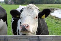 Nederlandse koe dichte omhooggaand Royalty-vrije Stock Afbeelding