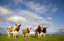 Nederlandse koeien 1 Stock Foto