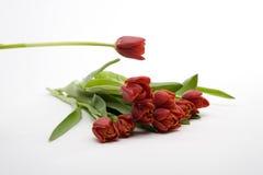 Nederlandse rode tulpen Stock Afbeeldingen