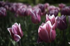 Nederlandse roze tulpen Stock Foto's