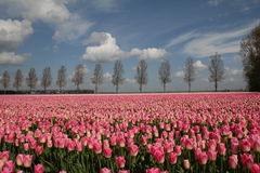 Nederlandse tulpen stock fotografie