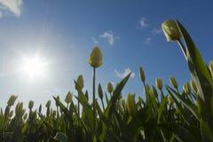 Nederlandse Tulpen stock afbeelding