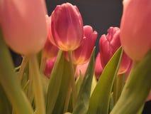 Nederlandse tulpen Stock Afbeeldingen
