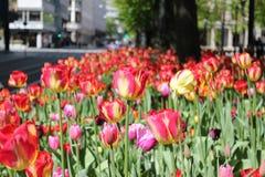 Nederlandse tulpen in het noorden Stock Fotografie