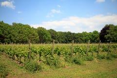 Nederlandse wijngaard Stock Foto