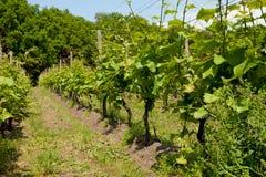 Nederlandse wijngaard Royalty-vrije Stock Afbeelding