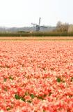 Nederlandse windmolen en rode tulpengebieden Royalty-vrije Stock Afbeeldingen