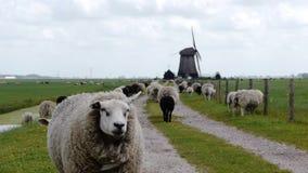 Nederlandse windmolen met schapen stock videobeelden
