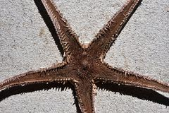 Nedersta format av den torkade sjöstjärnan (asteroidae) Royaltyfria Foton