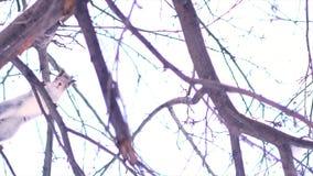 Nedersta sikt av den gråa ekorren som hoppar från filial för att förgrena sig av ett träd i en solig vinterdag Stäng sig upp för  royaltyfria foton