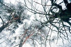 nedersta sikt av den härliga vinterskogen för träd mot vit royaltyfri fotografi