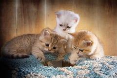 Nedersta sikt av den månatliga kattungebritten Shorthair Färg: Fotografering för Bildbyråer