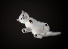 Nedersta sikt av den månatliga kattungebritten Shorthair Färg: Royaltyfri Bild