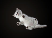 Nedersta sikt av den månatliga kattungebritten Shorthair Färg: Royaltyfria Foton