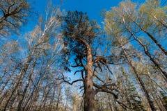Nedersta sikt av högväxta gamla träd i vintergrön blå himmel för urtids- skog i bakgrund Arkivfoton