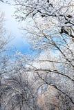 Nedersta sikt av träd som täckas med den insnöade skogen Royaltyfria Bilder