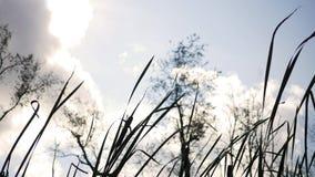 Nedgång Forest Series - spetsar av cattails som svänger i vinden lager videofilmer