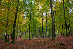 Nedgång i scandinavian skog Arkivfoton