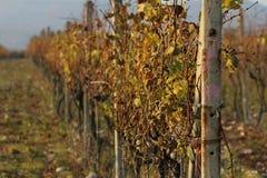 Nedgång i vingårdar i Modra Arkivbilder