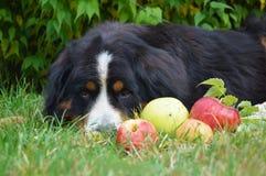 Nedgång som är förälskad med hunden för bernese berg Royaltyfria Bilder