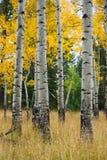 Nedgångaspar på den storslagna Teton nationalskogen Arkivfoton