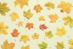 Nedgångbakgrund Den säsongsbetonade nedgången gulnade lönnlöv på den vita bakgrunden Nedgångsammansättning arkivfoto