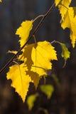 Nedgångbjörksidor - Autumn Colors royaltyfria bilder